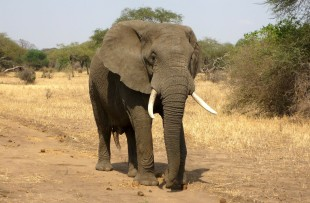 elephant-114543_1920