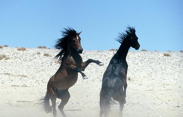 Wild-Horses-Namibia-DH3