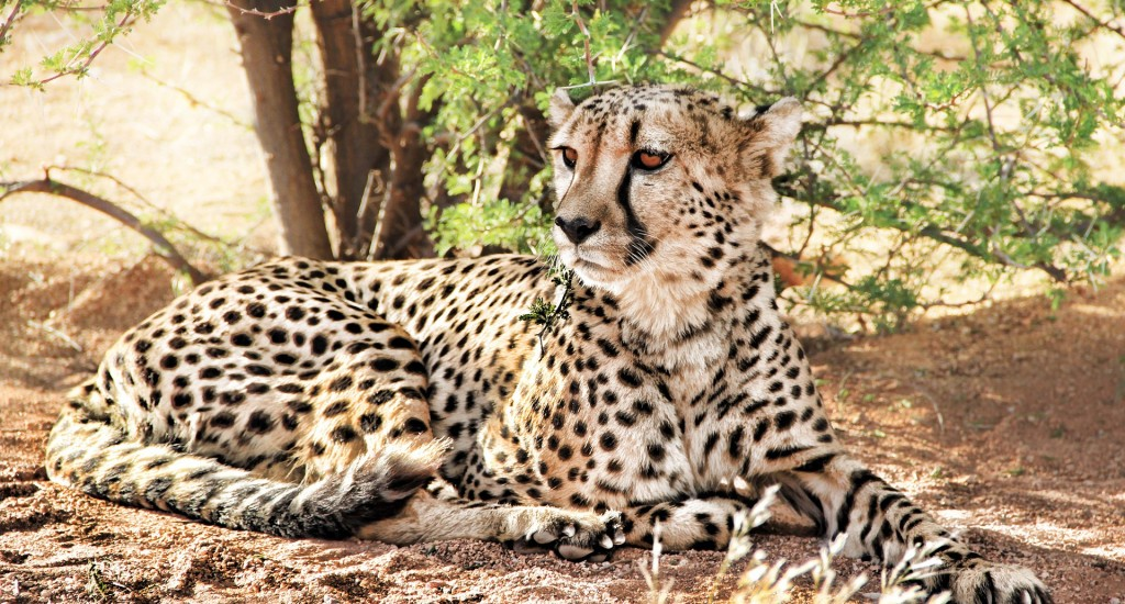 cheetah-864747_1920