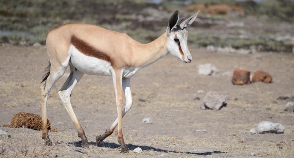 gazelle-839100_1920