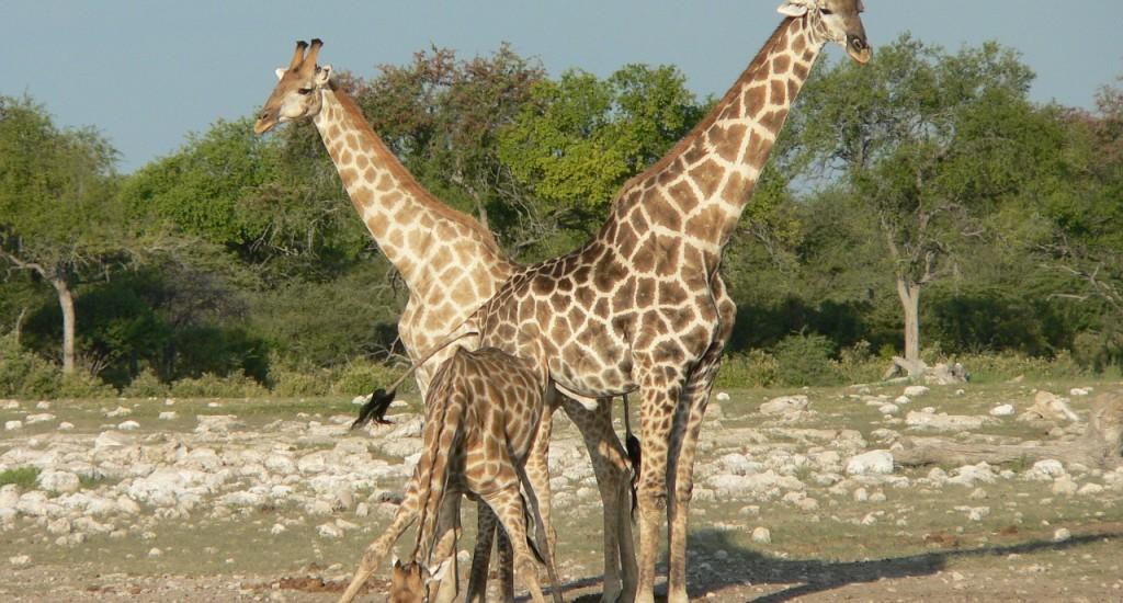 giraffes-285321_1280