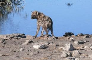 hyena-257483_1920