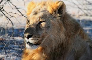 lion-etosha-pixabay
