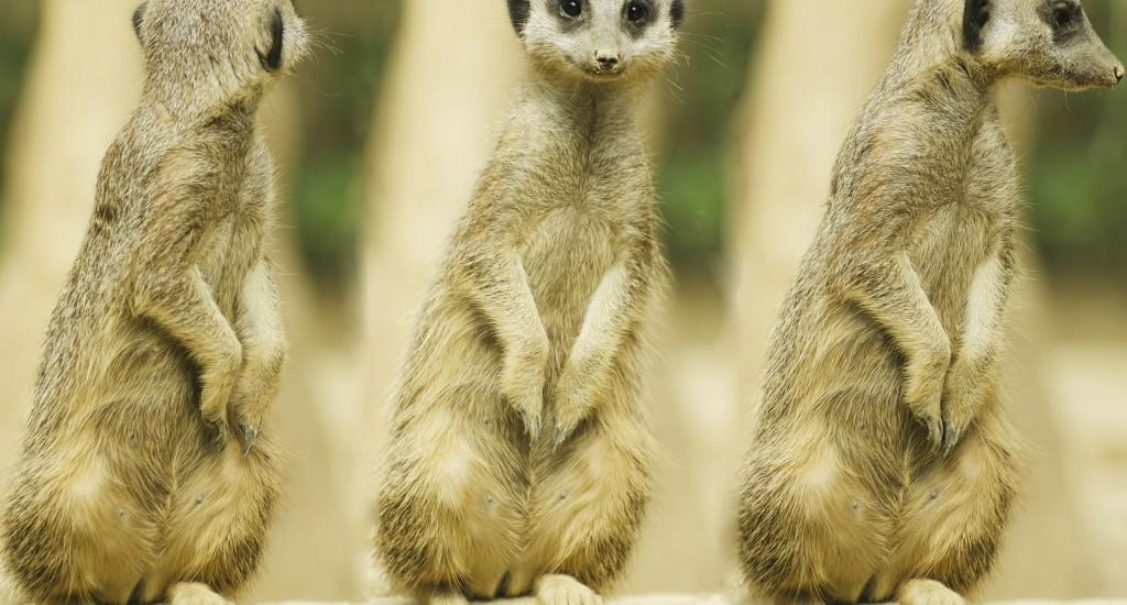 meerkat-275967_1920
